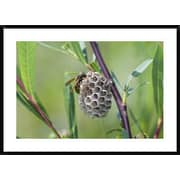 Global Gallery 'Wasp Constructing Nest, Upper Bavaria, Germany' Framed... by