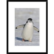 Global Gallery 'Chinstrap Penguin Walking Towards Camera, Antarctica' Framed Photographic Print