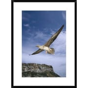 'Red-Footed Booby Juvenile Flying, Galapagos Islands, Ecuador' Framed Photographic Print