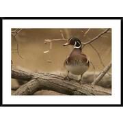 Global Gallery 'Wood Duck Male, Kensington Metropark, Milford, Michigan' Framed Photographic Print