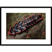 Global Gallery 'Net-Winged Beetle , Borneo' Framed Photographic Print; 22'' H x 30'' W x 1.5'' D