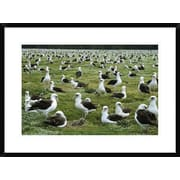 Global Gallery 'Laysan Albatross Nesting Colony, Midway Atoll, Hawaii' Framed Photographic Print