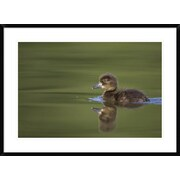 Global Gallery 'Tufted Duck Young, Swimming on Lake, Bambois, Belgium' Framed Photographic Print