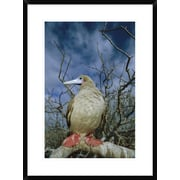 Global Gallery 'Red-Footed Booby' Framed Photographic Print; 30'' H x 22'' W x 1.5'' D