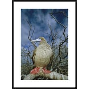 Global Gallery 'Red-Footed Booby' Framed Photographic Print; 36'' H x 26'' W x 1.5'' D