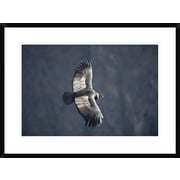 'Andean Condor Male Riding Thermal Updraft Over Colca Canyon, Peru' Framed Photographic Print