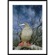 Global Gallery 'Red-Footed Booby' Framed Photographic Print; 42'' H x 30'' W x 1.5'' D