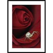 Global Gallery 'Goldenrod Crab Spider on Rose, Alaska' Framed Photographic Print