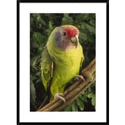 'Red-Tailed Amazon Portrait, Atlantic Forest Ecosystem, Brazil' Framed Photographic Print