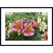 Global Gallery 'Peruvian Lily Princess Lilies Variety Flowers' Framed Photographic Print