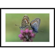 'Silver-Studded Blue Butterfly Pair Mating on Flower, Europe' Framed Photographic Print