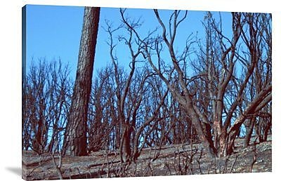 Naxart 'Burned Trees and a Sky' Photographic Print on Canvas; 24'' H x 36'' W x 1.5'' D