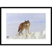 Global Gallery 'Timber Wolf Standing At the Top of a Snow Bank, Montana' Framed Photographic Print