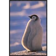 'Emperor Penguin Chick, Princess Martha Coast, Weddell Sea, Antarctica' Framed Photographic Print