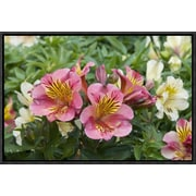 East Urban Home 'Peruvian Lily Princess Lilies Variety Flowers' Framed Photographic Print