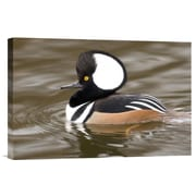 East Urban Home 'Hooded Merganser Male' Photographic Print on Canvas; 24'' H x 36'' W x 1.5'' D