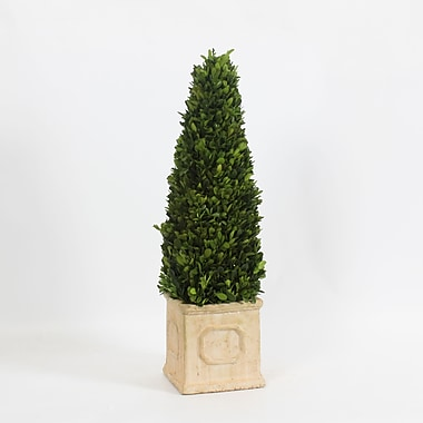Boxwood Cone with Square Pot, 5.9