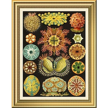 East Urban Home 'Haeckel Nature Illustrations: Ascidiae' Framed Graphic Art Print; 14'' H x 11'' W