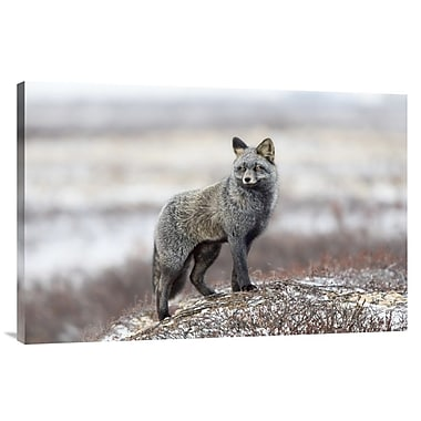 Global Gallery 'Cross Fox' by Alessandro Catta Photographic Print on Wrapped Canvas