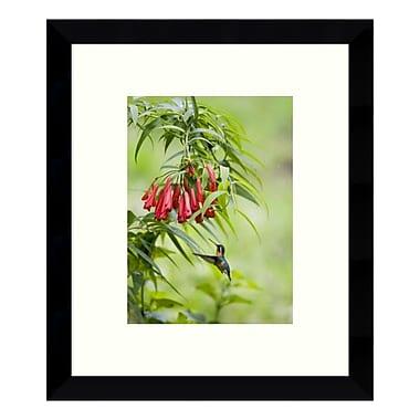 Amanti Art – Impression de « Femelle colibri de montagne à gorge violette, Costa Rica » par Konrad Wothe, 9 x 11 po (DSW3428321)