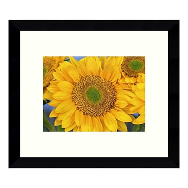 Amanti Art – Imprimé encadré « Common Sunflower Group, North America (III) », par Tim Fitzharris, 11 x 9 po (DSW3428380)