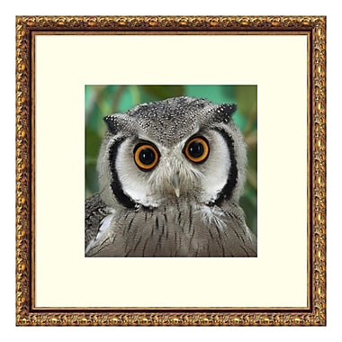 Amanti Art Framed Art Print 'Southern White-faced Owl portrait' by San Diego Zoo, 21