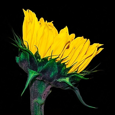 Latitude Run 'Sunflower Profile on Black' Photographic Print on Canvas; 16'' H x 24'' W