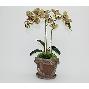 Bloomsbury Market Double Clay Old World Orchid Flower in Pot