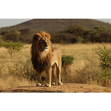 East Urban Home 'African Lion' Rectangle Photographic Print on Canvas; 40'' H x 60'' W x 1.5'' D