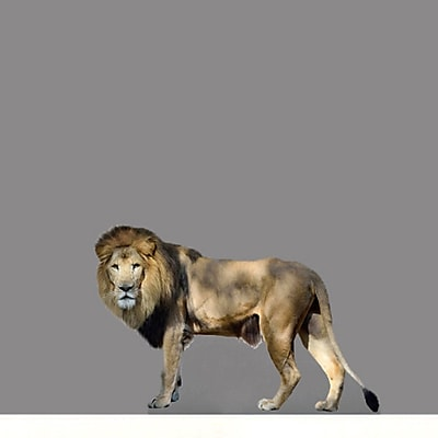 SweetumsWallDecals Real Life Lion Wall Decal; 16'' H x 24'' W