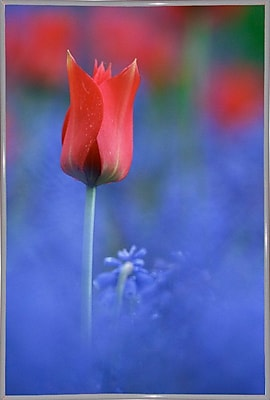 East Urban Home 'Tulip No 3' Graphic Art Print; White Metal Framed Paper