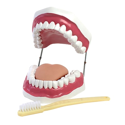 American Educational Products® Oral Hygiene Model