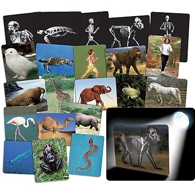 Roylco® X-Ray, What's Inside Animals