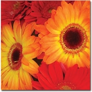 "Trademark Global Amy Vangsgard ""Orange and Red Gerbers"" Canvas Art, 24"" x 24"""