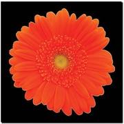 "Trademark Global ""Orange Gerber Daisy"" Canvas Art, 18"" x 18"""