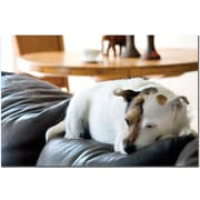 "Trademark Global ""Jack Russel"" Canvas Art, 16"" x 24"""