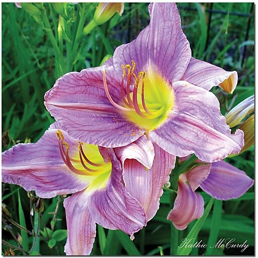 "Trademark Global Kathie McCurdy ""Lavender Day Lily"" Canvas Art, 35"" x 35"""