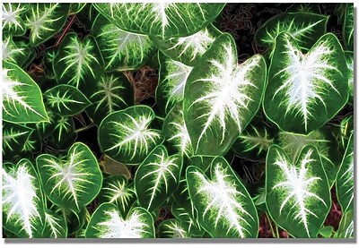Trademark Global Kathie McCurdy 'Caladium Leaves' Canvas Art