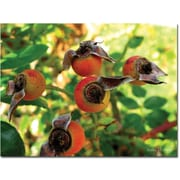 "Trademark Global Kathie McCurdy ""Rose Hips"" Canvas Art, 24"" x 32"""