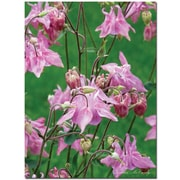 "Trademark Global Kathie McCurdy ""Pink Columbine"" Canvas Art, 47"" x 35"""