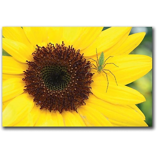 "Trademark Global Patty Tuggle ""Sunflower"" Canvas Art, 16"" x 24"""