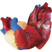 Learning Resources® Soft Foam Cross-Section Human Heart Model