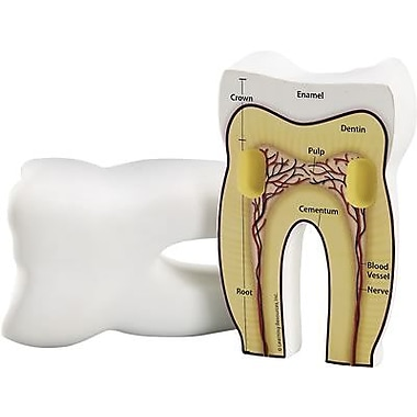 Learning Resources – Modèle d'une dent à coupe transversale (LER1904)