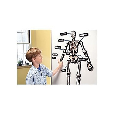 Educational Insights® 3-D Skeleton Demonstration Magnets, Set of 33