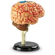 Learning Resources® Brain Anatomy Model