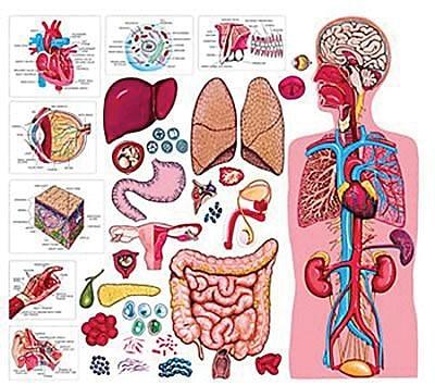 Human Body, 34