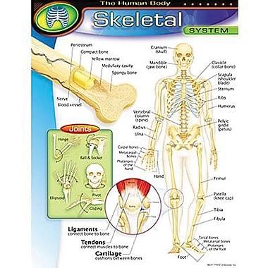 Trend Enterprises® The Human Body Skeletal System Learning Chart