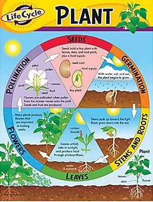 Trend Enterprises® Life Cycle of A Plant Learning Chart