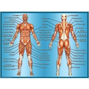 Teacher Created Resources® Muscles Chart