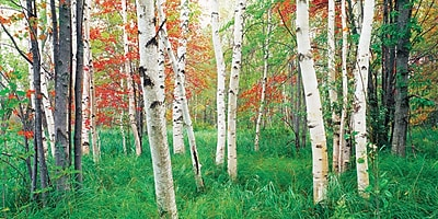 Biggies- Wall Mural -Aspen Grove 54